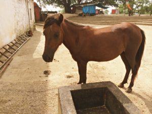 Janapav Kuti Horse