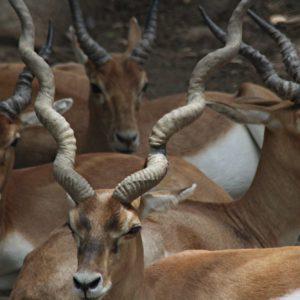 Black Bucks Indore Zoo
