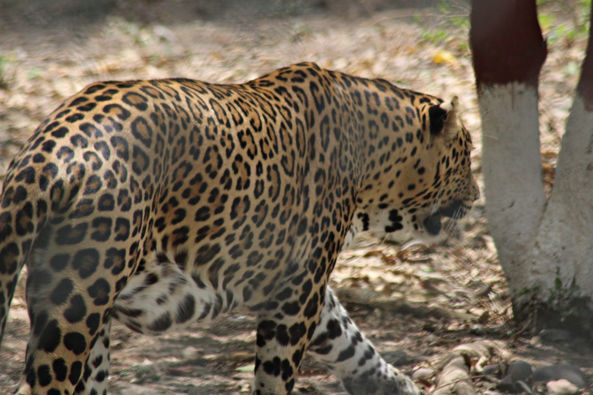Leopard Indore Zoo