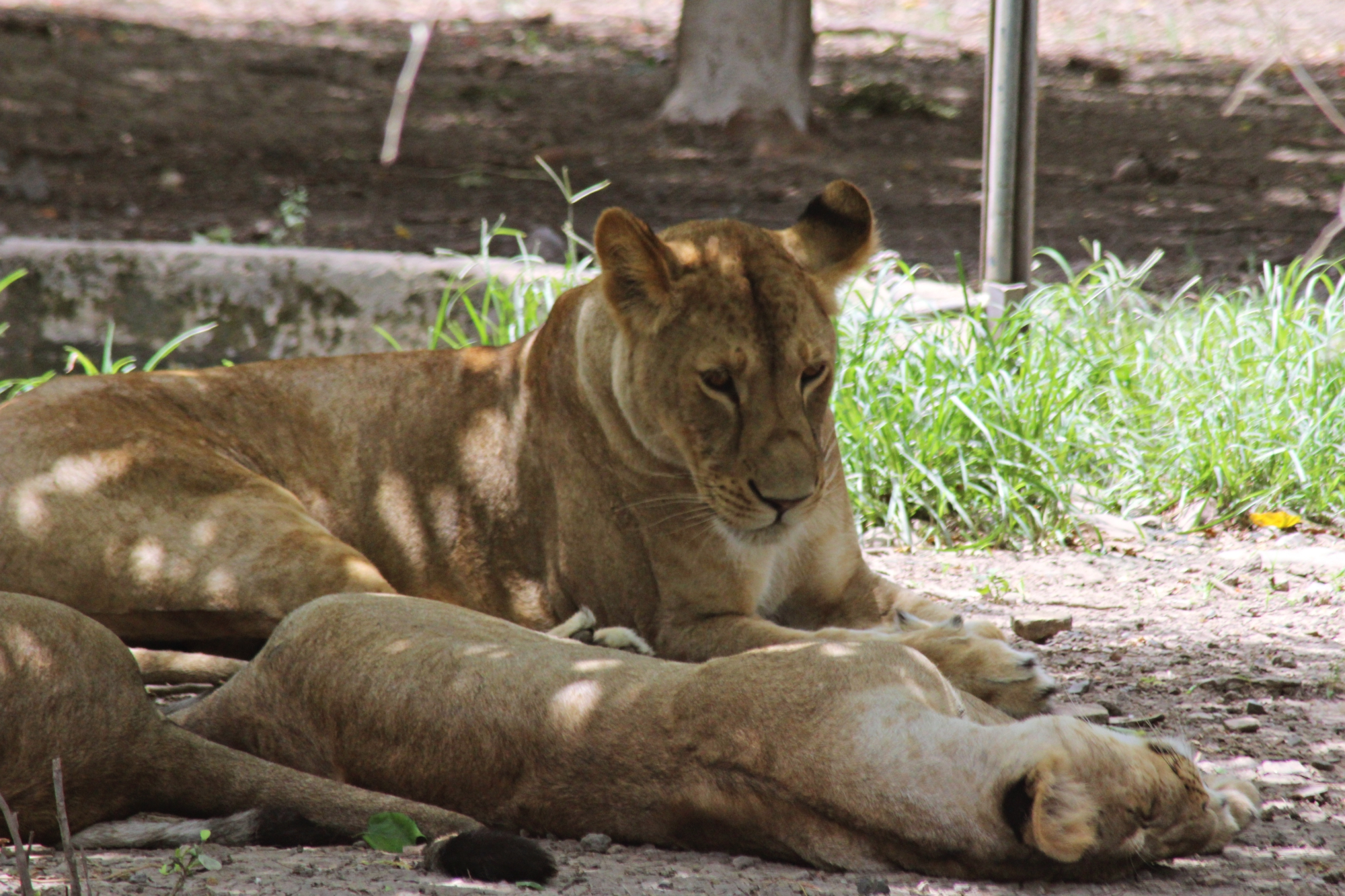 Lions Indore Zoo