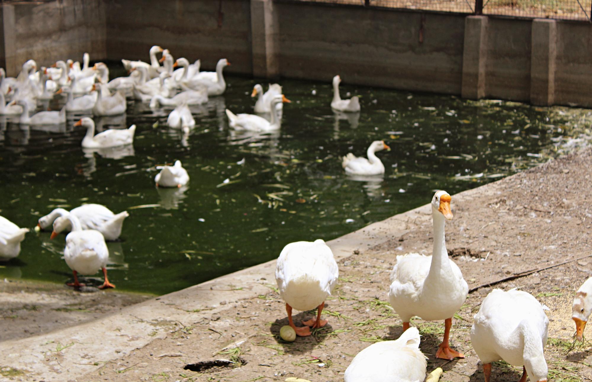 Pekin Ducks Indore Zoo