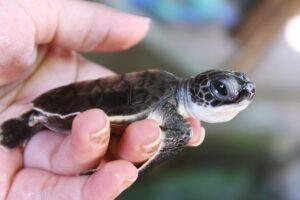 Kosogoda Turtle Hatchery