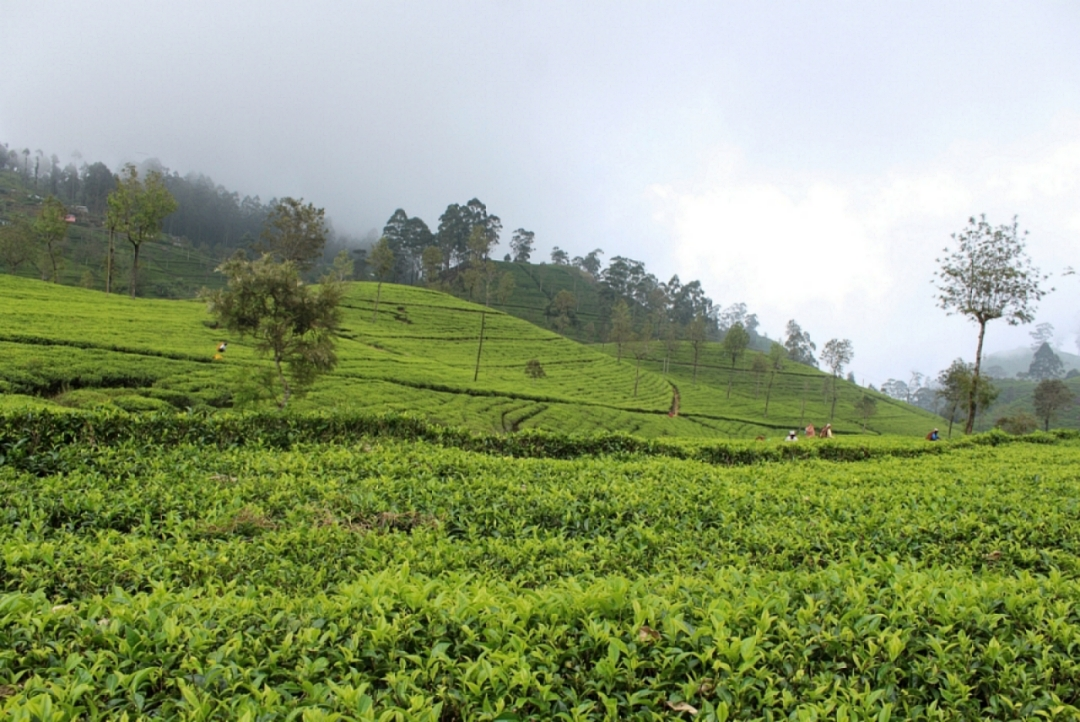 Nuwara Eliya Tea Factory