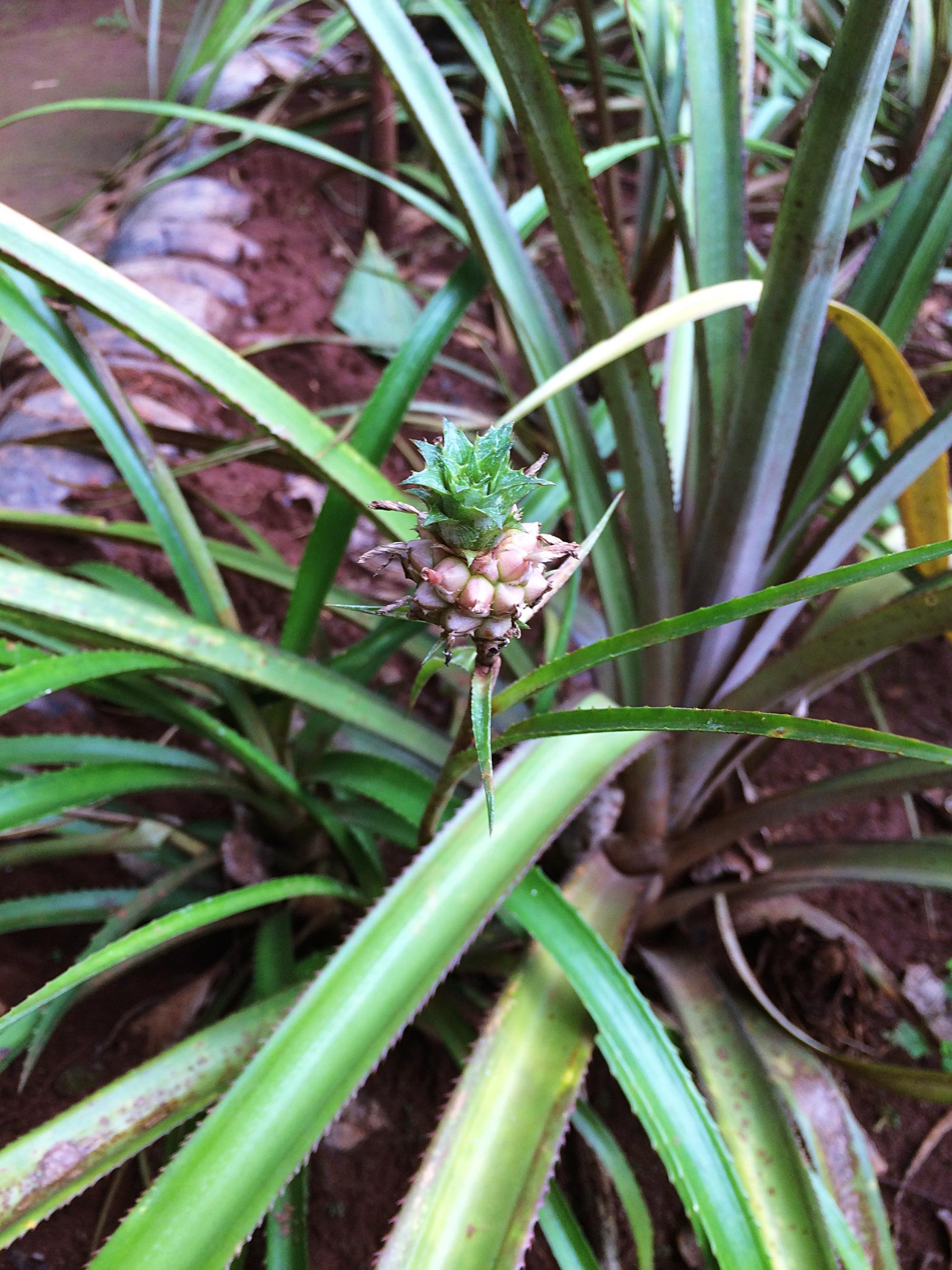 SpiceGarden Pineapple