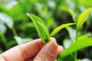 Sri lanka Silver Tea