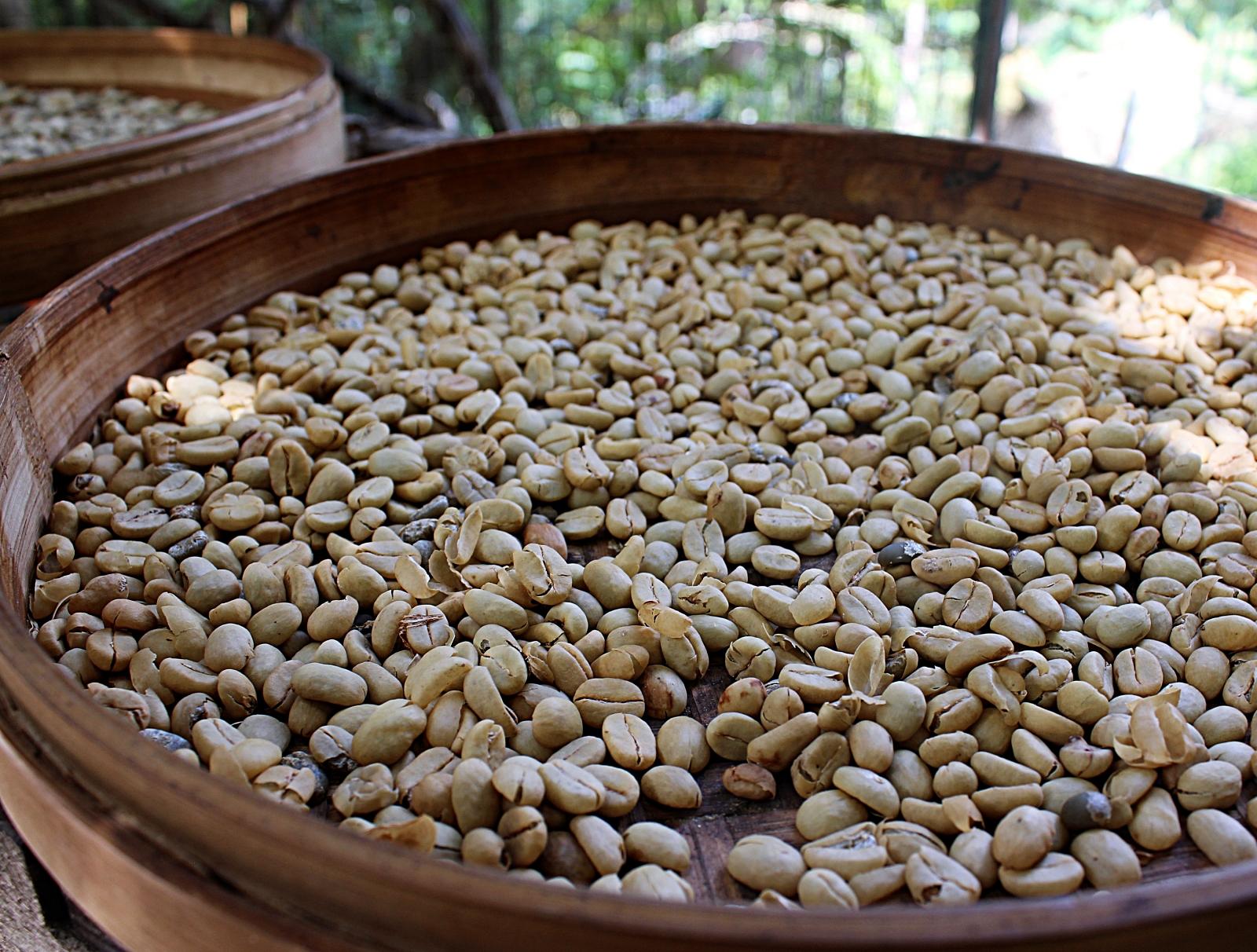 Luwak Coffee Beans Alas Harum
