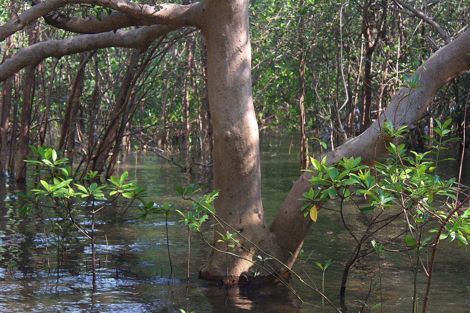 Mangroves Karwar